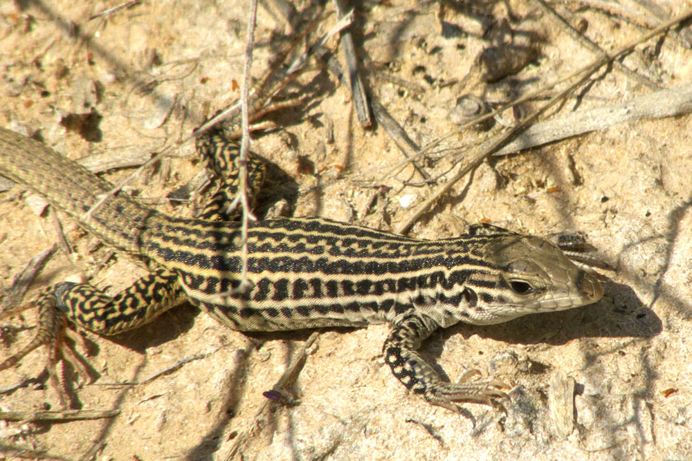 Whiptail Lizard In The Sand