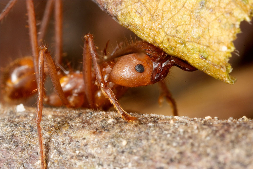 leafcutter ant crawling next to a leaf