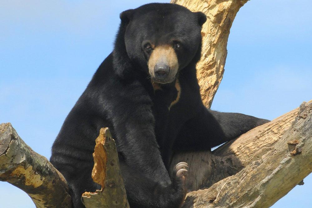 a sun bear sitting in a tree