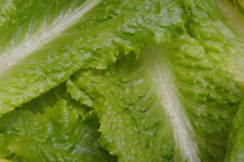 fresh lettuce leaves