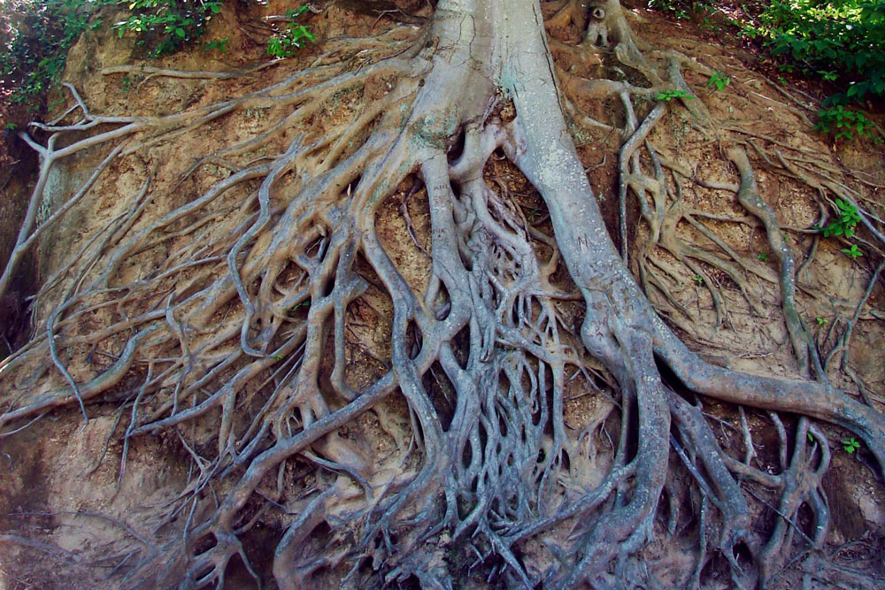 exposed tree roots on a river edge