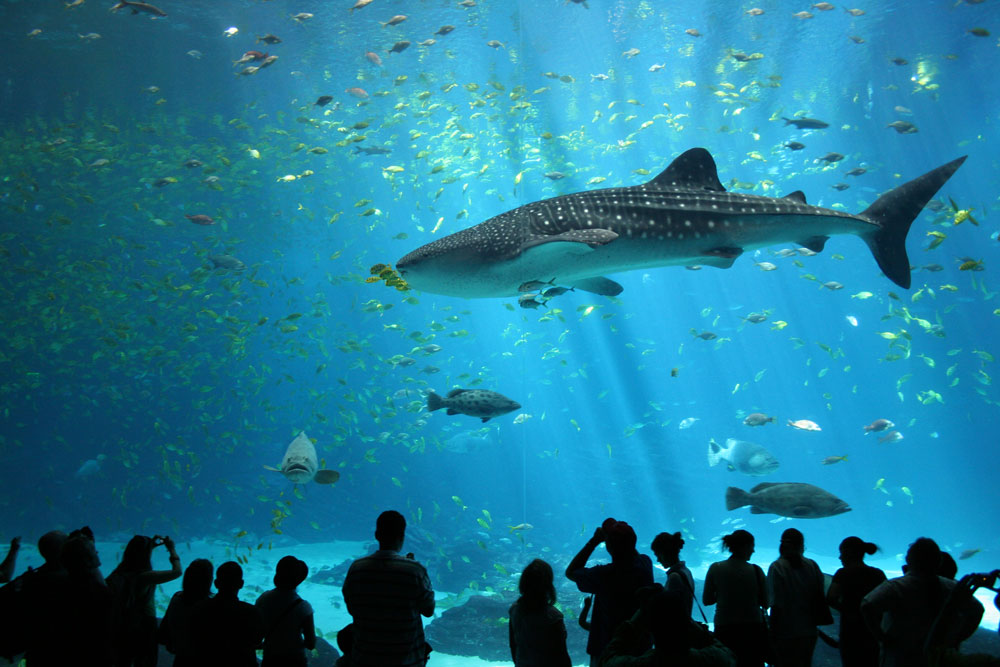 aquarium visitors observe a massive whale shark and other fish