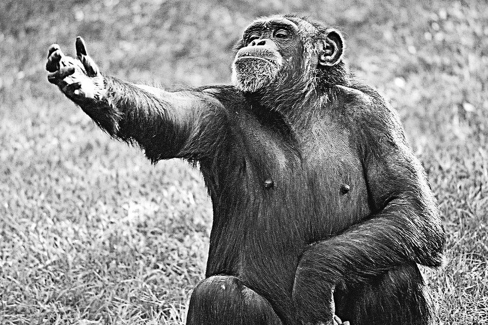 a chimp sits with his arm outstretched as if reciting Hamlet