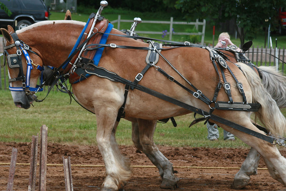 two draft horses pulling