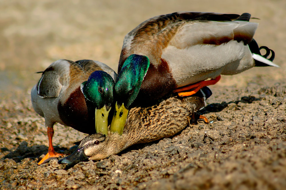 two male mallards fighting to mate with a female