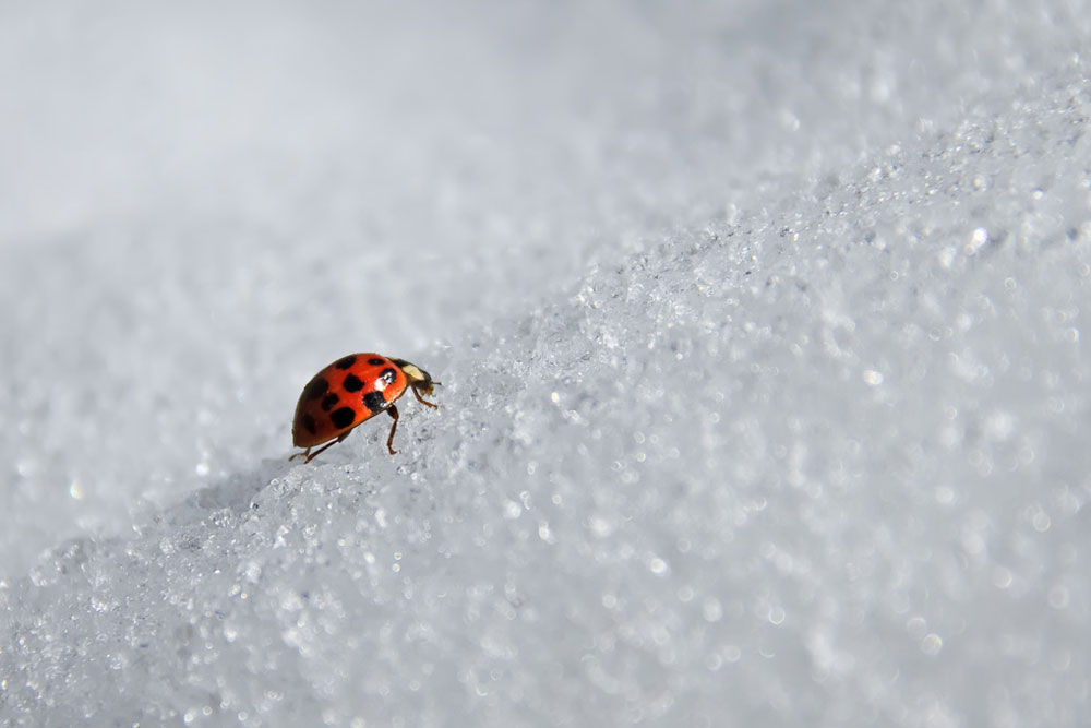 a ladybug crawls up a hill of snow