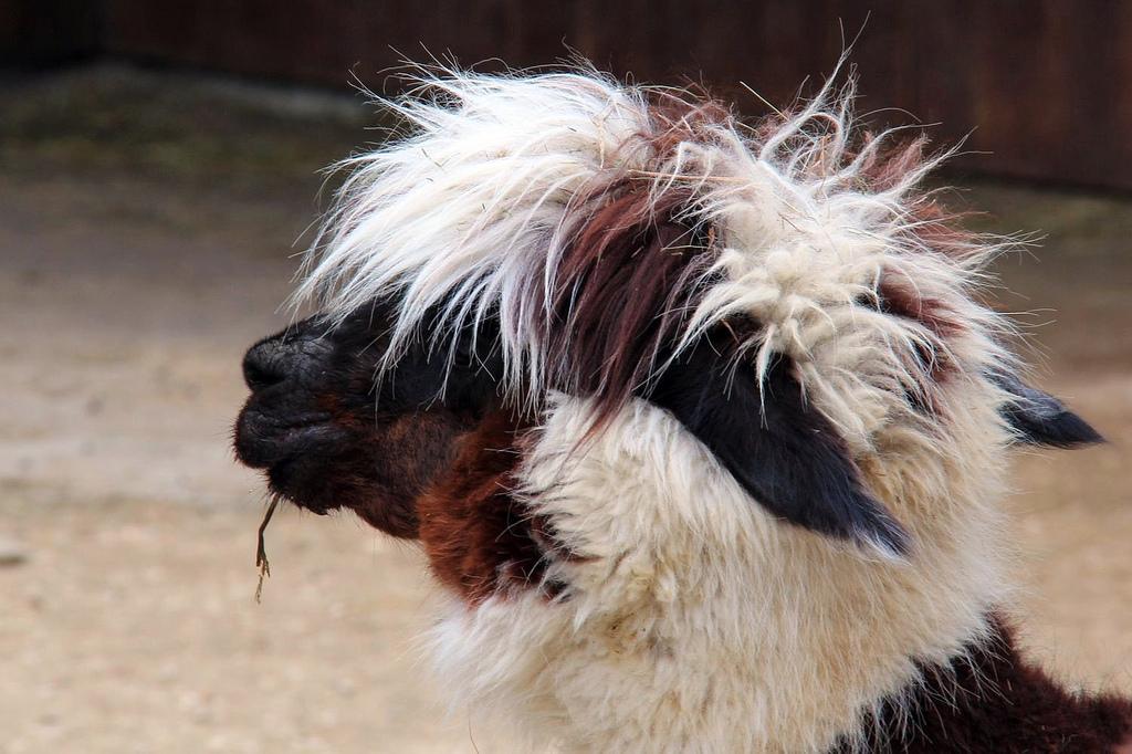 black and white llama