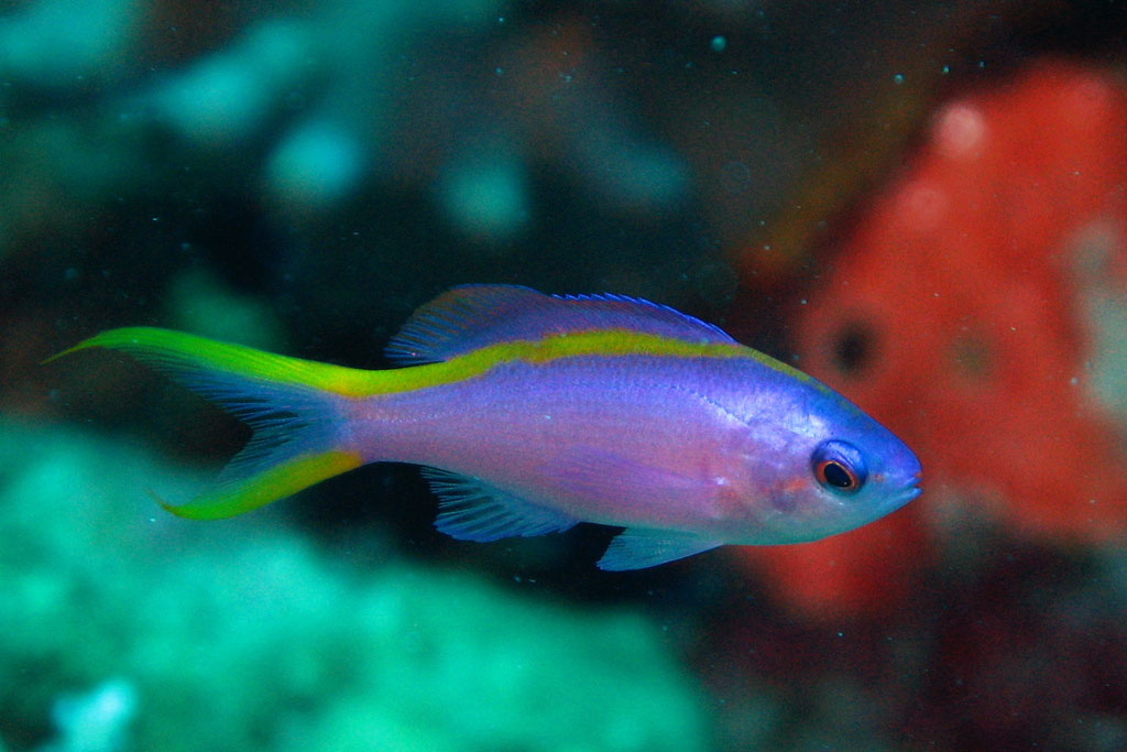 Female Anthias fish