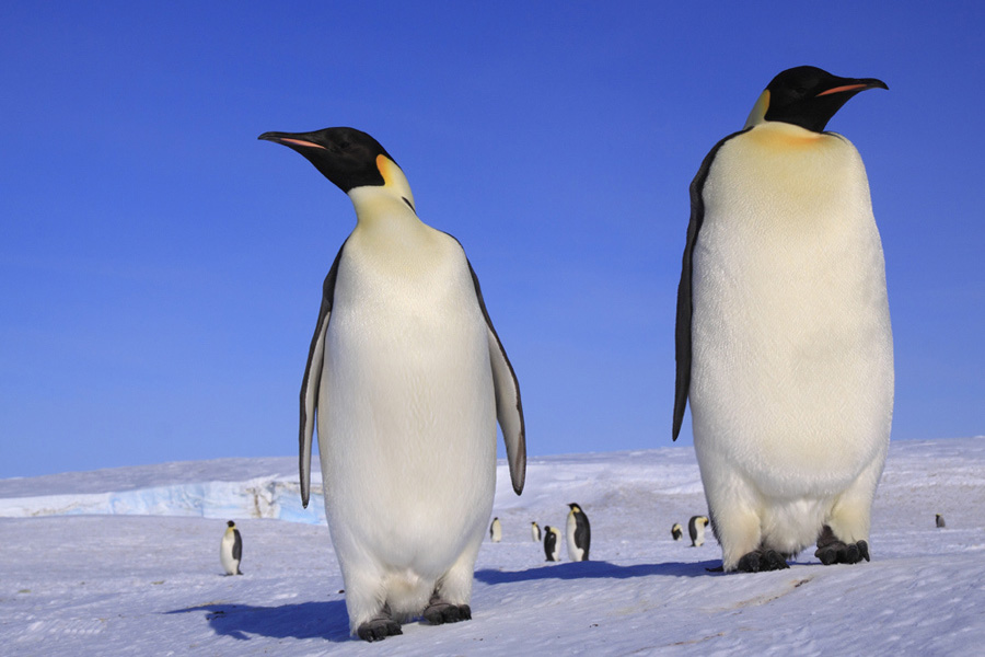 Giant penguins