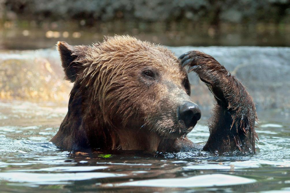 bear in water scratching head