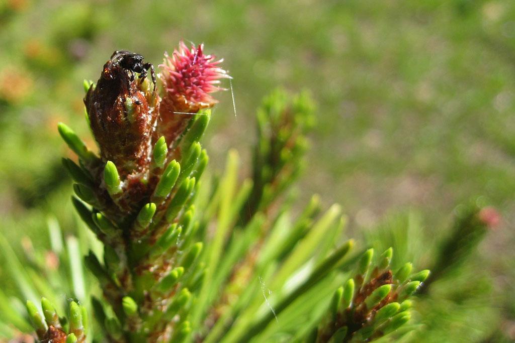 longepole pine cone