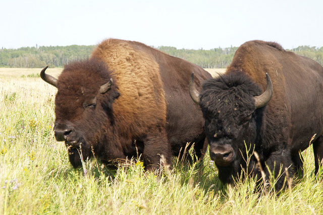 bison eating in a field of grass