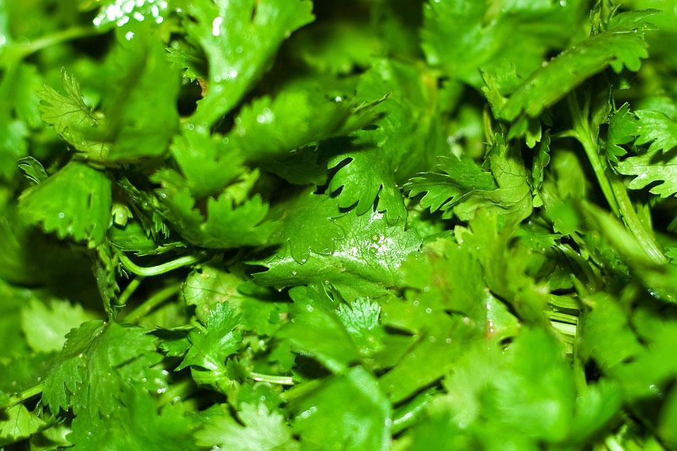 cilantro close up