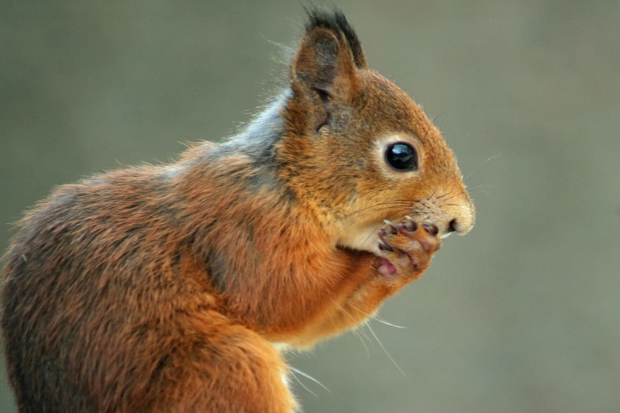 squirrel holding mouth
