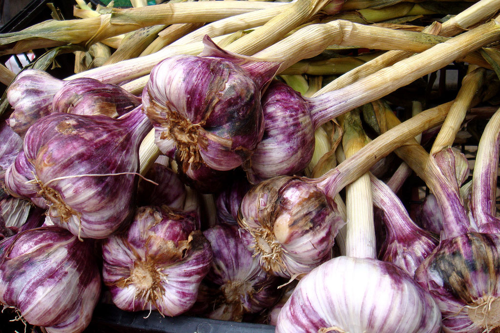 garlic in a bunch