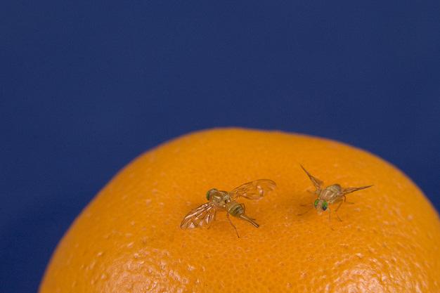 Fruit flies on an orange