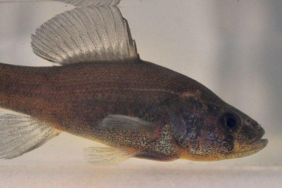 Pirate Perch fish