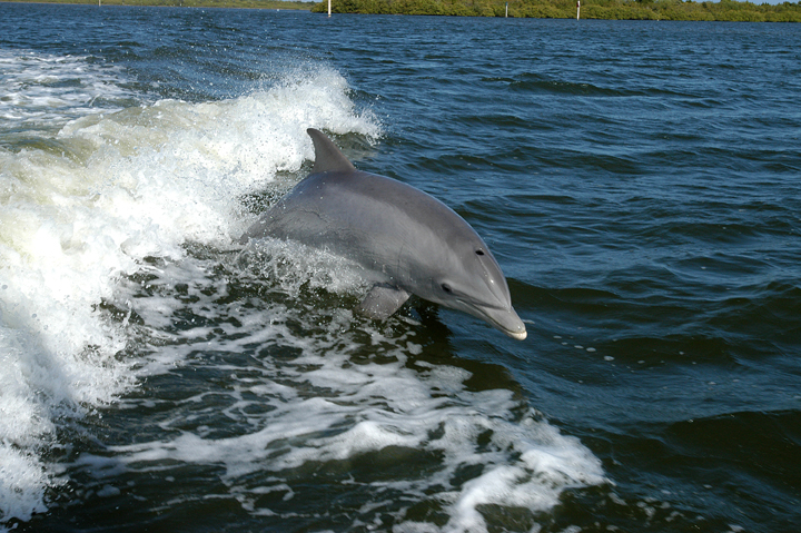A bottlenose dolphin leaps from the water.