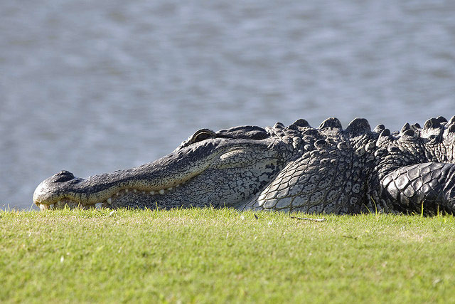 alligator laying next to a lake