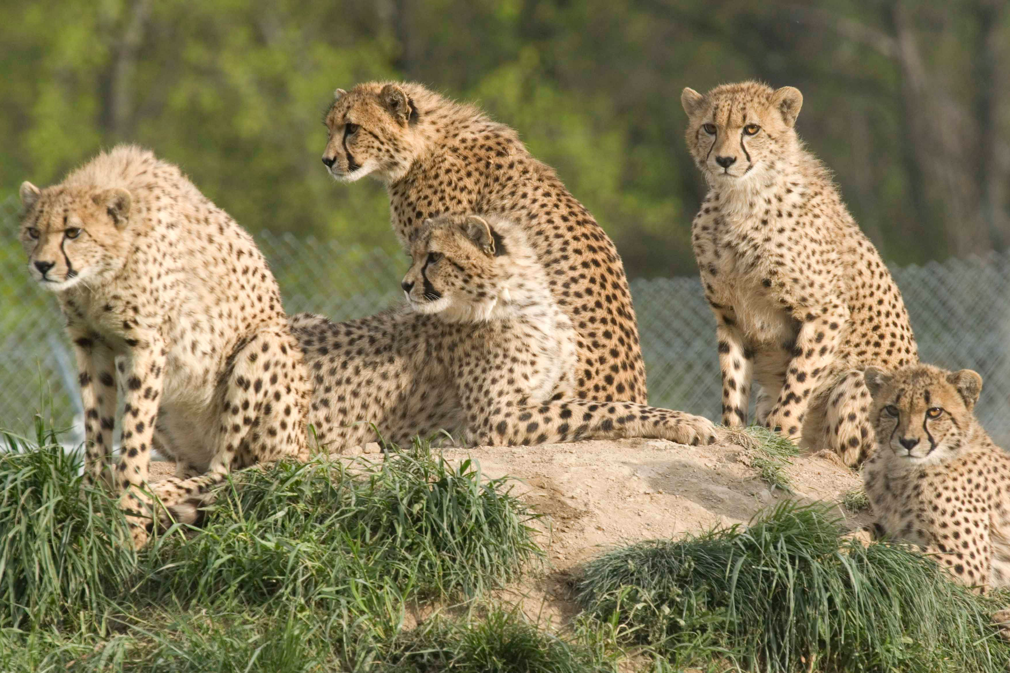 A cheetah family of five lounges in the sun at the Smithsonian National Zoo