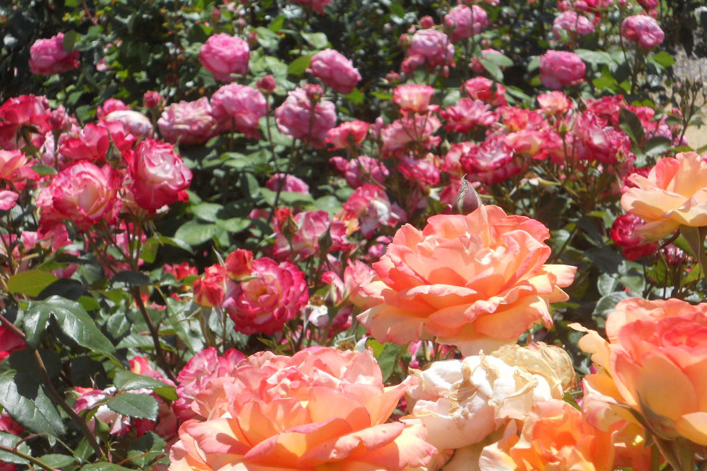 Photo of a garden full of orange and pink roses.