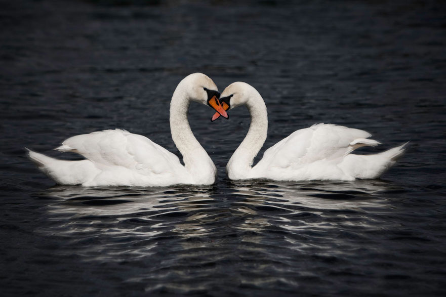Swans floating on the water form share a heart-shaped embrace.