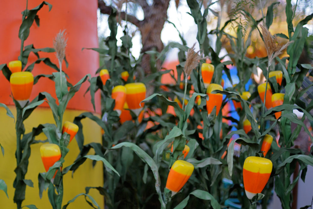A cornfield with blooms of candy corn.
