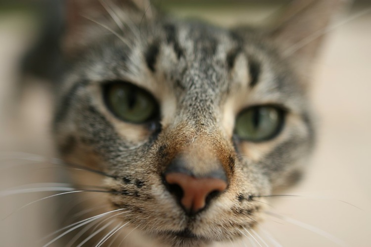 Close-up of a tabby cat's face