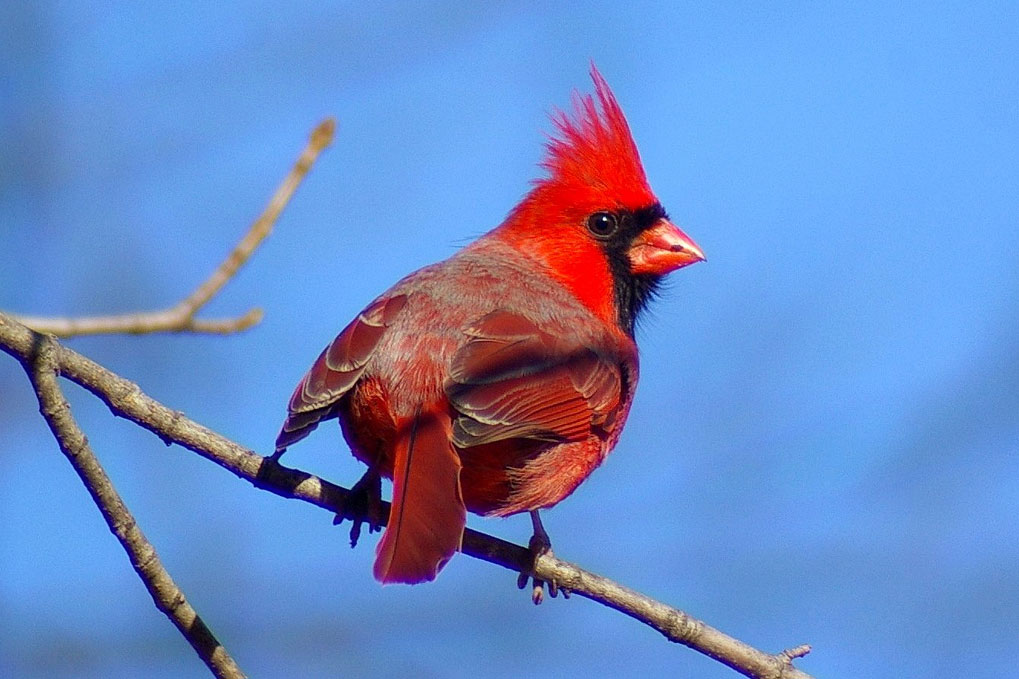 A cardinal, a type of bird known for its singing, perches on a branch.