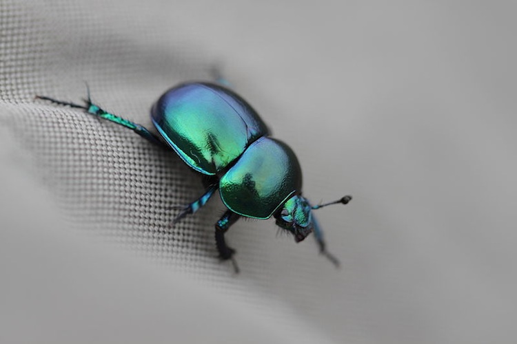 Macro of colorful dung beetle