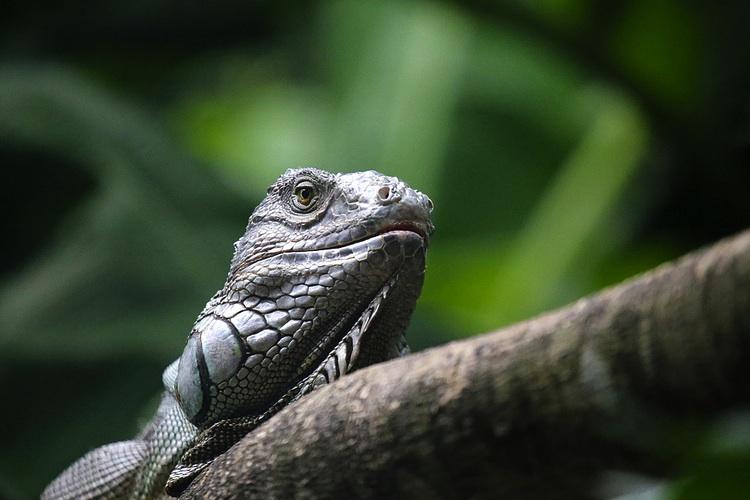 An iguana sits on a branch