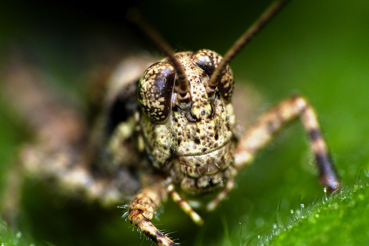Close-up of a brown grasshopper's face
