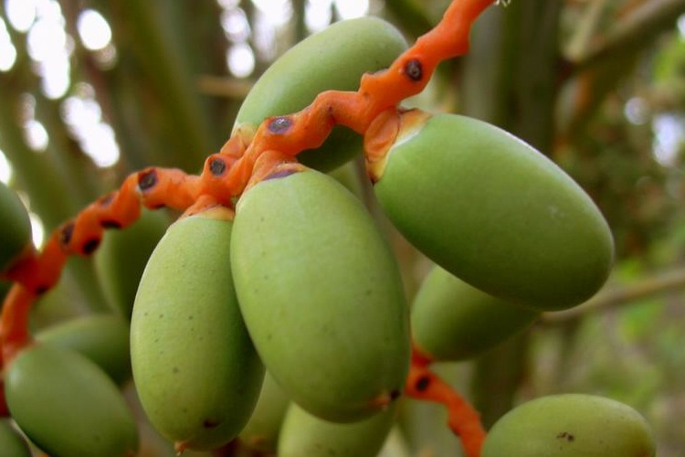 Close-up of green dates still on the tree
