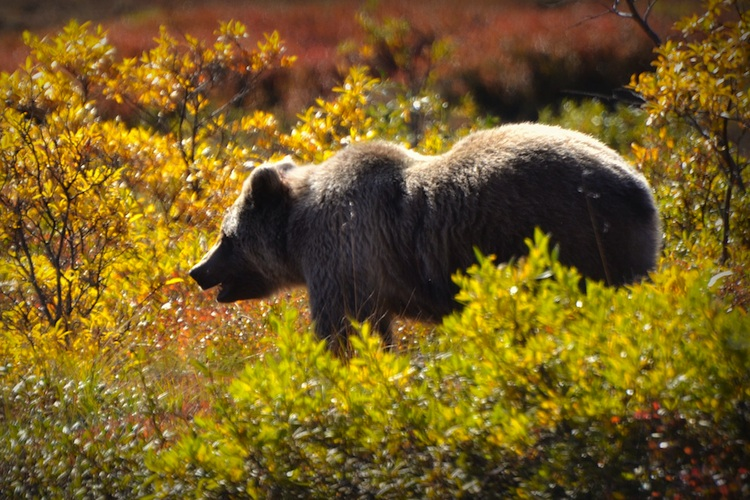 A grizzle bear stands in the bushes
