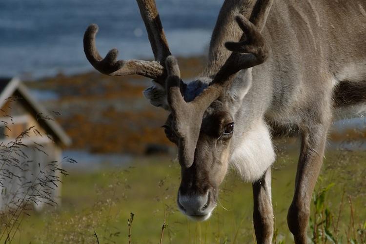 A reindeer in walking in green grass