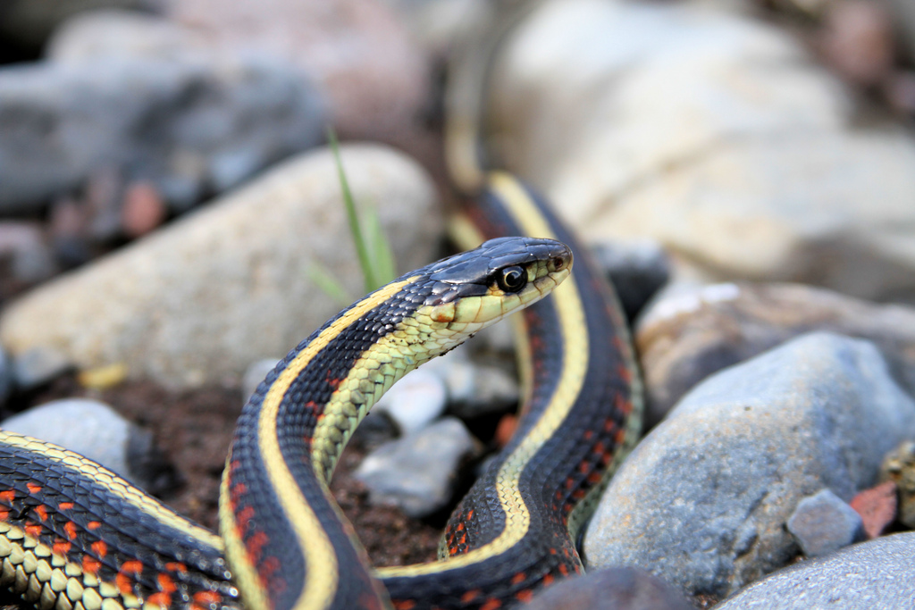 Close-up of a yellow and black snake