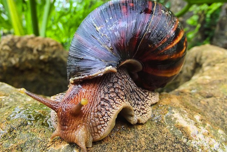 A giant African land snail crawls on a log