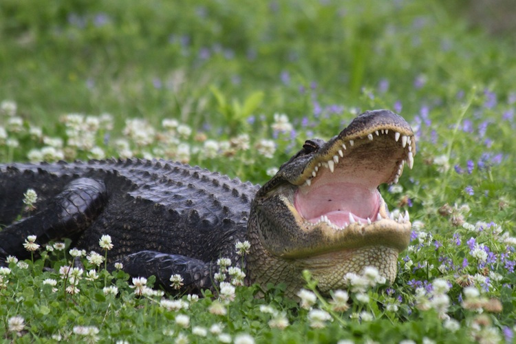 An alligator lays in flowers and grass with mouth open wide.