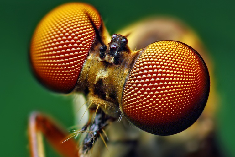 A close-up of an insects compound eyes.