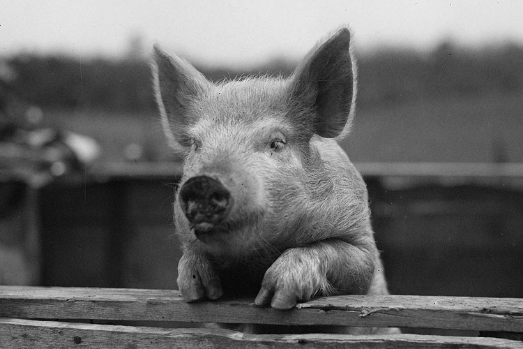 A black and white photo of a pig with it's arms resting on the top of a fence