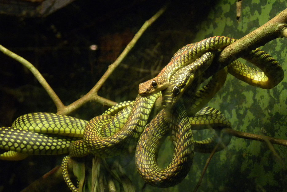 Paradise tree snakes coiled around a branch