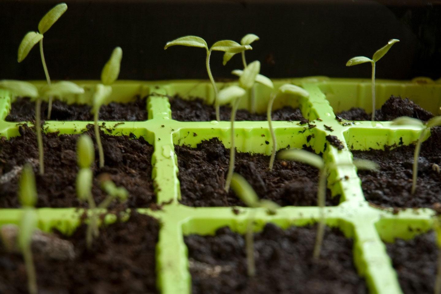 tomato plant sprouts