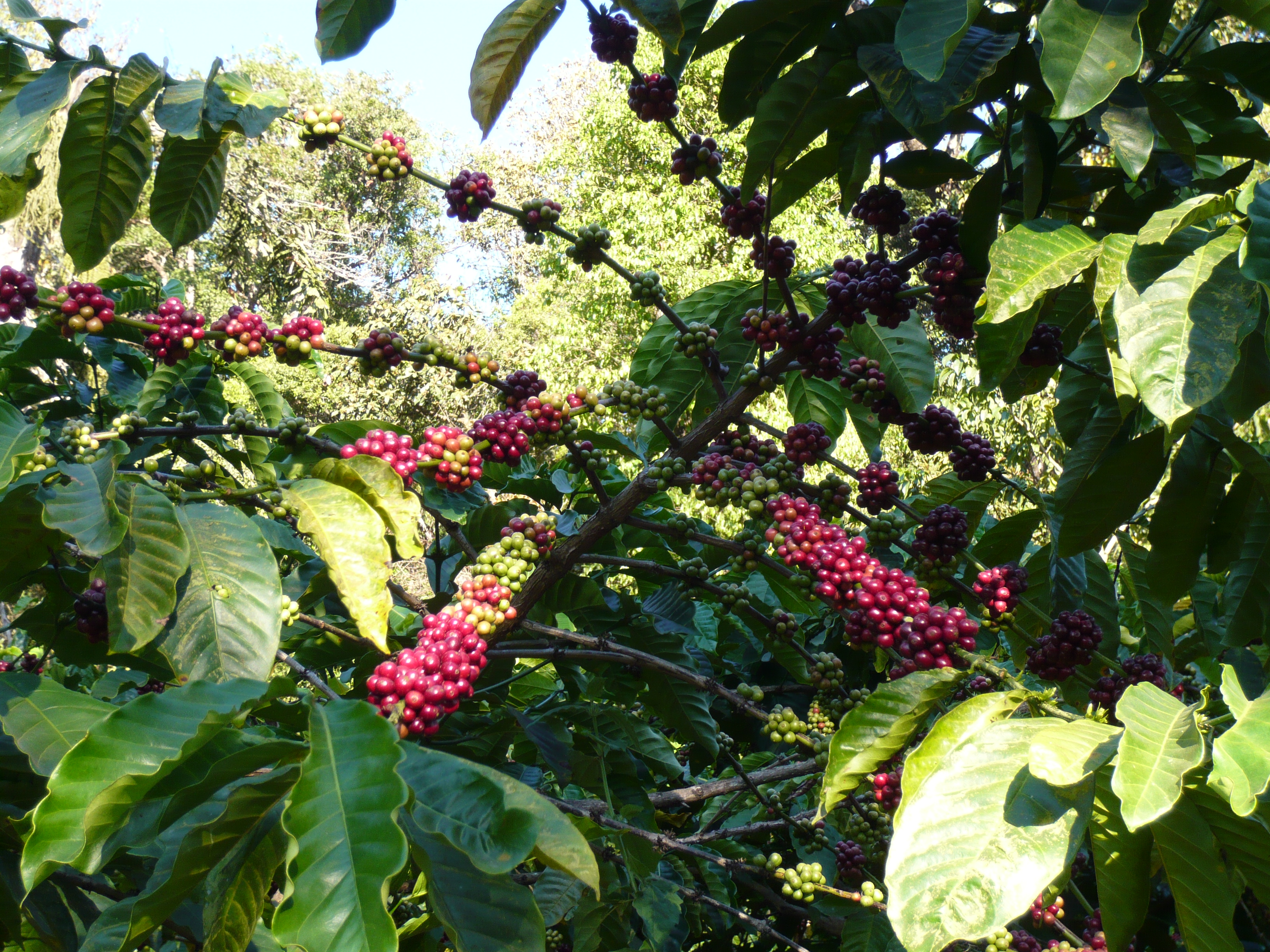 Red and green beans clump on a Robusta coffee plant.