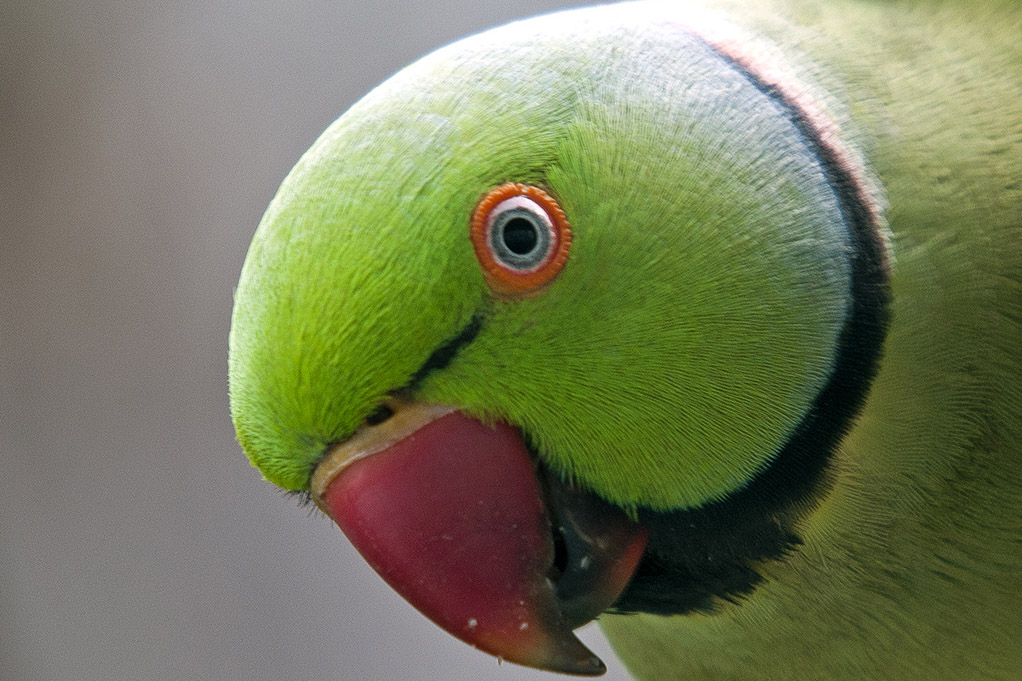 a up-close shot of a rose-ring parakeet's head