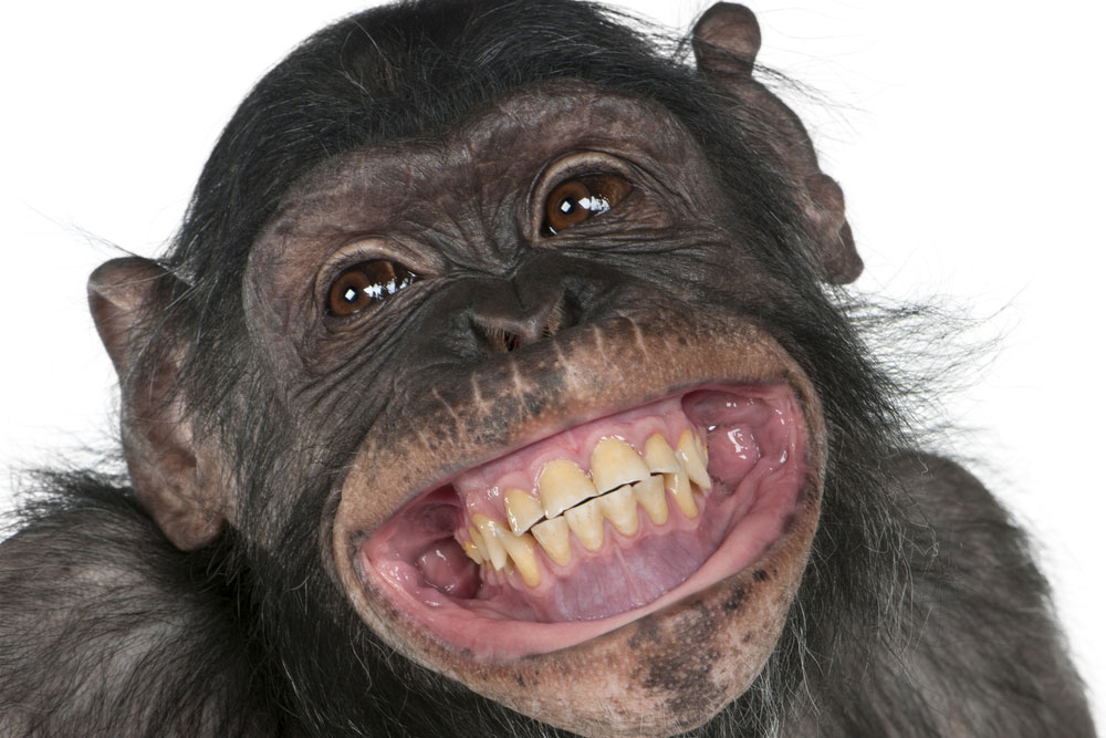 Smiling young chimp