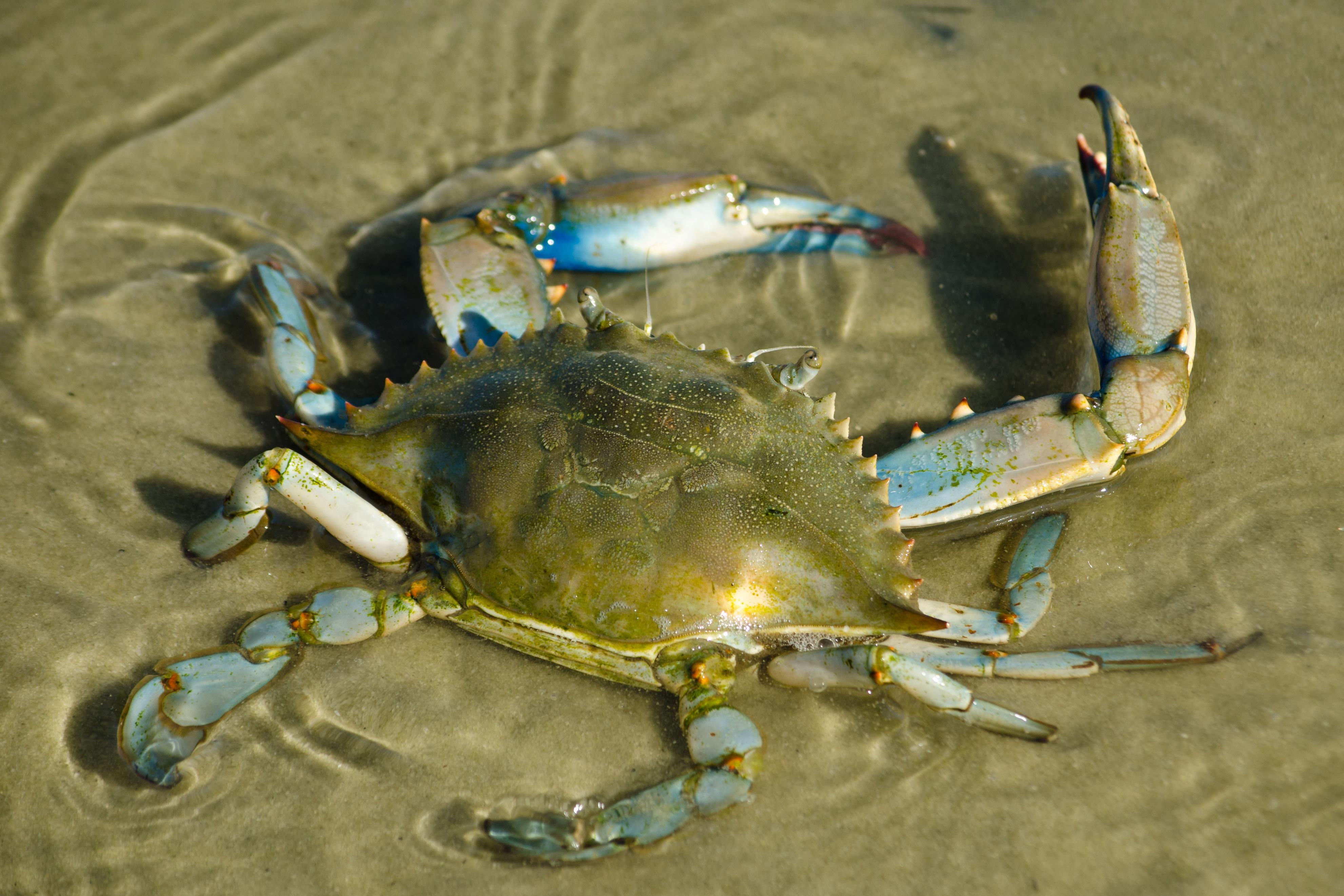 blue crab on sand bar