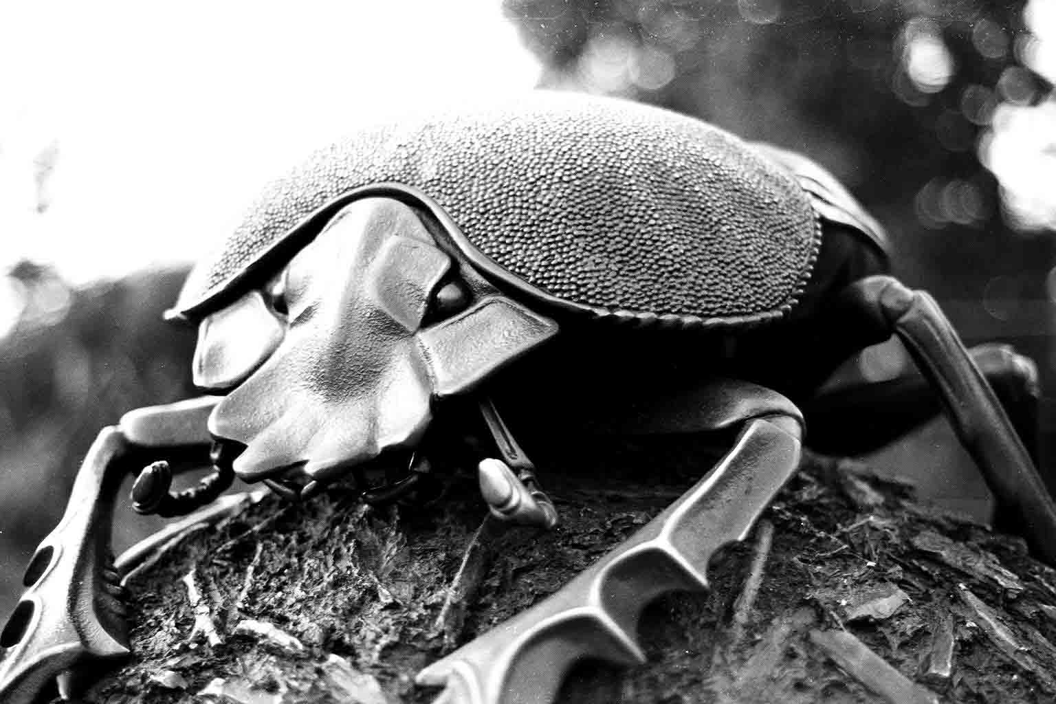 dung beetle in black in white
