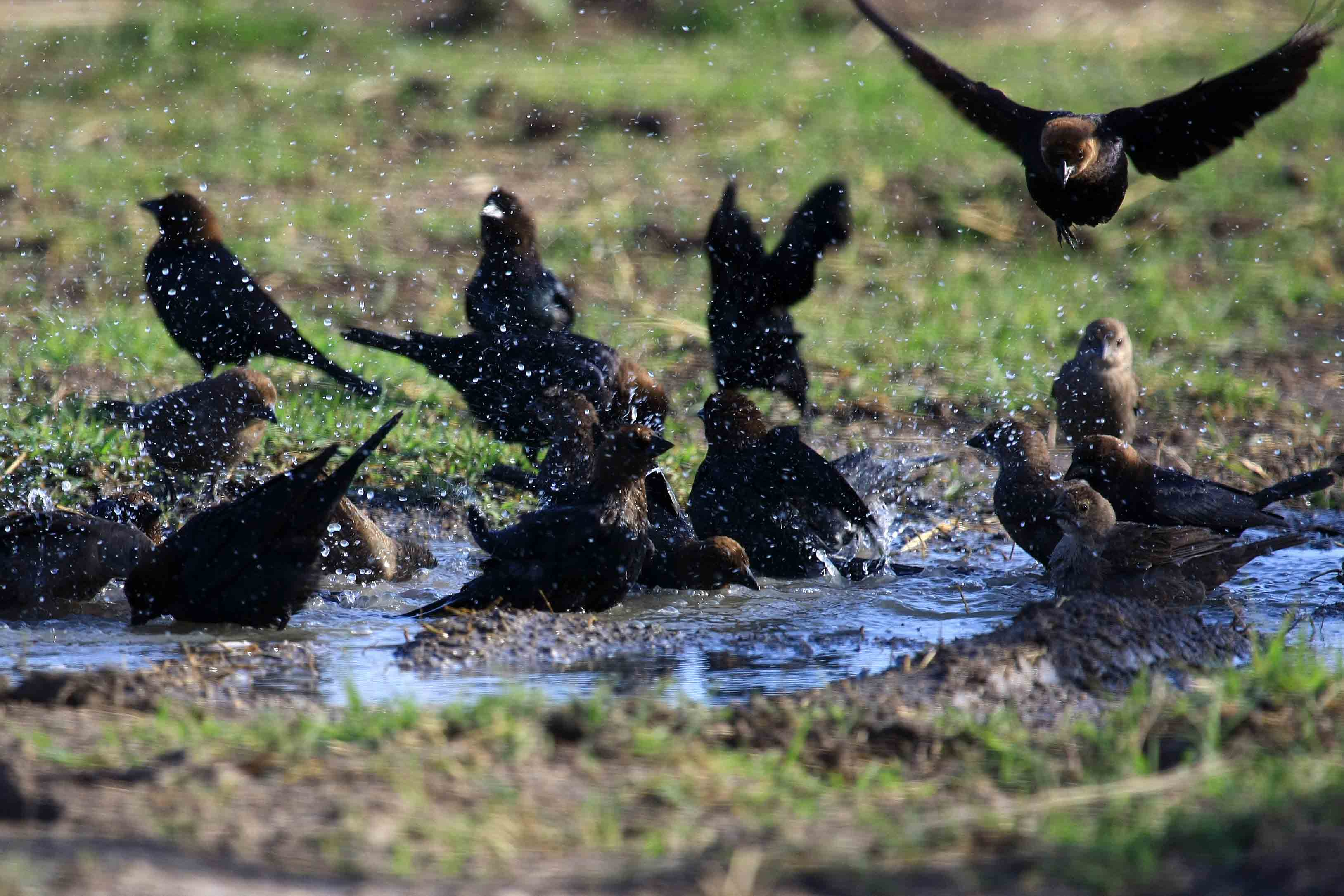 flock of cowbirds
