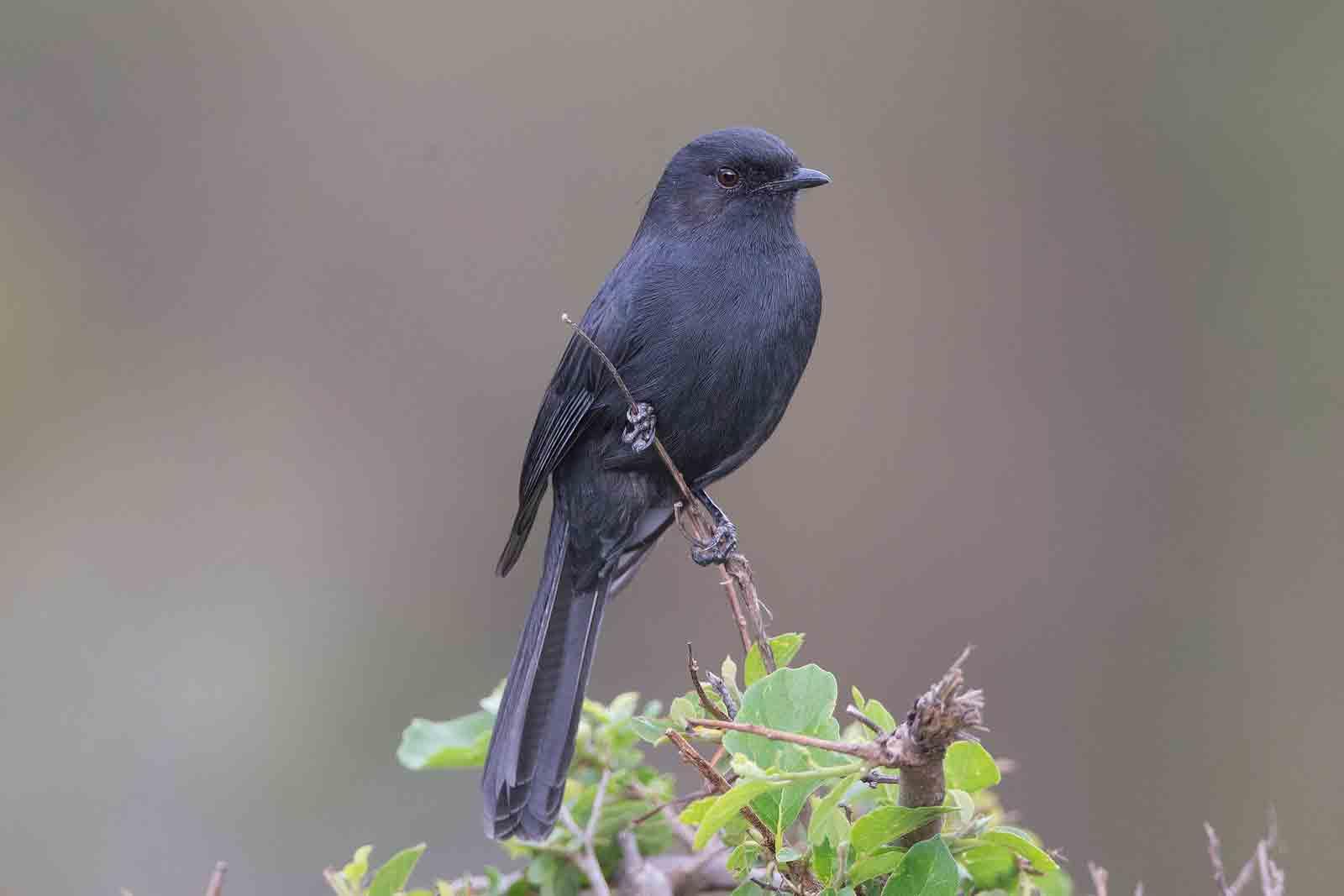 Black-Bellied Flycatcher