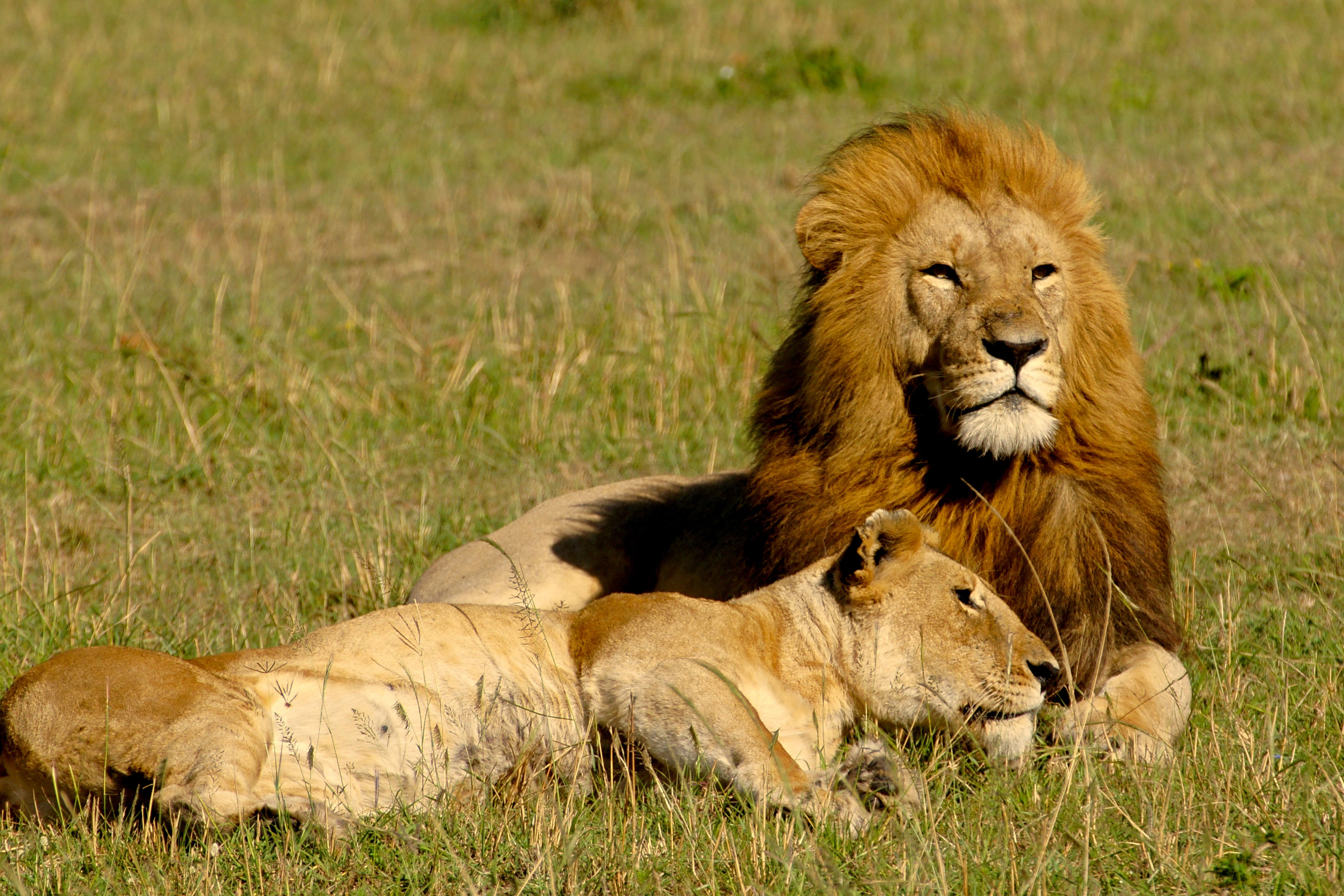 lord and lady lion